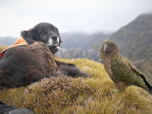 Ajax the Kea Conservation Dog