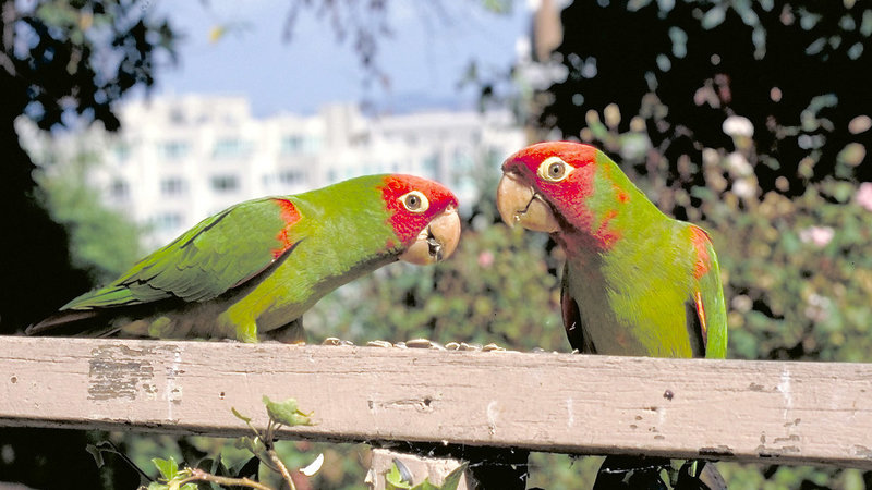 The Wild Parrots of Telegraph Hill (image 1)